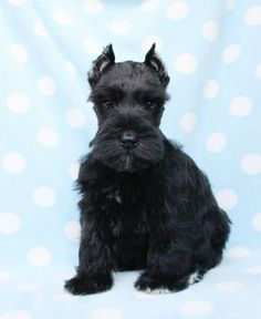 Miniature Schnauzer Puppies | Mini Schnauzer Puppies For Sale