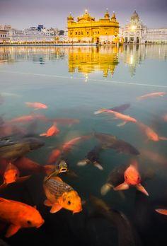 The Harmandir Sahib (Golden Temple) and fish, Amritsar, Punjab, India
