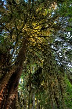) Tree of Light - Hoh Rainforest in Olympic National Park.
