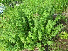Pěstování bylinek v bytě Herb Garden, Detox, Herbs, Health, Culinary Herb, Gardening, Health Care, Lawn And Garden, Herbs Garden