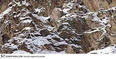 El leopardo de las nieves, conocido por su hermosa, piel gruesa,