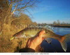 Odkryj Zander Spining River Fishing stockowych obrazów w HD i miliony innych beztantiemowych zdjęć stockowych, ilustracji i wektorów w kolekcji Shutterstock. Codziennie dodajemy tysiące nowych, wysokiej jakości obrazów. Fish, River, Image, Pisces, Rivers