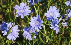 Chicory stimulates the liver and gallbladder removal secretion .Chicory therapy is recommended in case of biliary dyskinesia, in biliary diseases, anorexia, constipation . Flower Desktop Wallpaper, Sunday Paper, Chicory Root, Natural Health Remedies, Herbal Medicine, Wild Flowers, Herbalism, Herbs, Nature