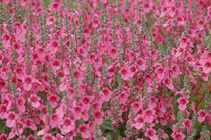 Diascia is a wonderful plant for adding mass color to desert, xeric, and low water use gardens and landscapes. Adding pink or red tones and shades to the landscape creates a different atmosphere and contrast than the commonly overused purple, yellow, and neutral plant combinations.