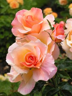 pretty Apricot coloured Rose