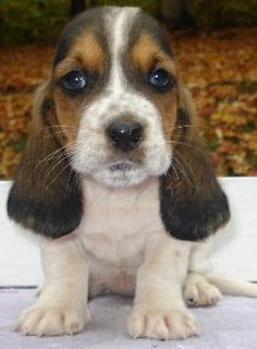 Baby Annabelle- 5 weeks.  Nothing better than a baby basset hound!