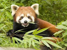 Panda vermelho: Conheça e pesquise sobre animais domésticos e selvagens.