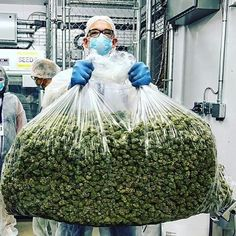 You have been thinking of where to get the oldest and the best marijuana strains as well as concentrates and edibles, and place your order to get in shipped within 48 hours max.No Card needed.Every transaction with us is discreet .More info at..www.legalcannadispensary.com Text or call +1(704) 729 4543