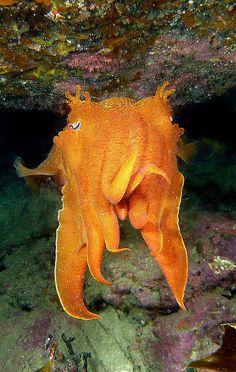 Cuttlefish - Black Rock   Flickr - Photo Sharing!