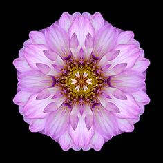 Violet Dahlia II, Copyright 2010 David J. Bookbinder