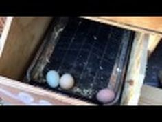 How to stop your chickens from eating their eggs Tips Help ideas - YouTube