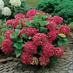 Hydrangea macrophylla Pia sports a very dwarf, compact habit only 2 feet tall and wide. Description from myfolia.com. I searched for this on bing.com/images