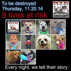 TO BE DESTROYED: 9 Dogs to be euthanized by NYC ACC- THURS. 11/20/14. This is a HIGH KILL shelter group. YOU may be the only hope for these pups! ****PLEASE SHARE EVERYWHERE!!!!To rescue a Death Row Dog, Please read this:  http://urgentpetsondeathrow.org/must-read/    To view the full album, please click here:    https://www.facebook.com/media/set/?set=a.611290788883804.1073741851.152876678058553&type=3