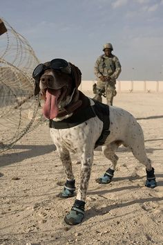 HAUS, a military working dog, and his handler Air Force Staff Sergeant Zerrick Shanks perform a perimeter sweep at an undisclosed location in Southwest Asia. Air Force photo by Kevin Hubbard Army Dogs, Police Dogs, Military Working Dogs, Military Dogs, Military Police, Pointer Puppies, Dogs And Puppies, Dog Soldiers, Golden Retriever