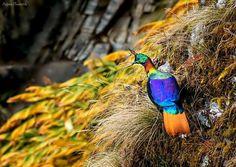 Monal pheasant