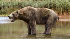 Ancient 'otter bear' that roamed the coasts of the Pacific Northwest about 20 million years ago may have had a feeding style like no other mammal, popping clams off rocks like a bottle opener / animaux / caniforme / préhistorique / kolponomos / aquatique Prehistoric World, Prehistoric Creatures, Beast Creature, Extinct Animals, Creature Feature, Fauna, Otters, Pet Birds, Mammals