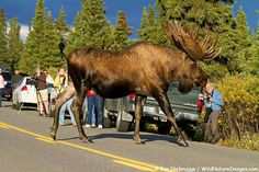 Big Moose, and I wouldn' t get that close, these big guys can be very dangerous