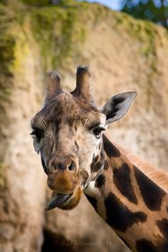 Have you seen Hangover 3 yet?  I saw it tonight.  Lol...what does that have to do with a Giraffe?  See it!