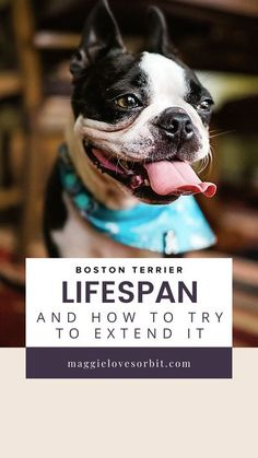 The choices you make can help your Boston Terrier live a longer life.   Bostons have an average lifespan of 11 to 13 years.  I share 10 tips for you as you raise them to help them live happier and healthier lives.
