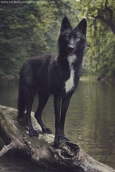 Lucian the upper mid content wolfdog