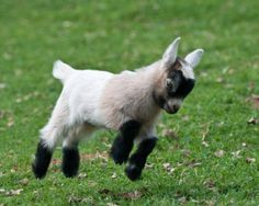 Jumping Goats Well i like baby