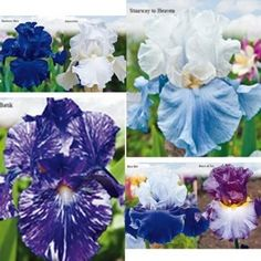 Elegance in Blue Iris | blues