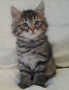 ♔ Siberian kitten