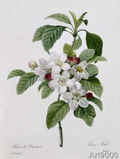 Pierre Joseph Redouté - Apple Blossom, from 'Les Choix des Plus Belles Fleurs'