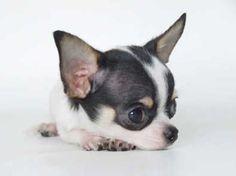 Teacup Chihuahua Black And White