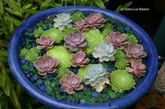 to emulate a water feature in your yard (without the water), try adding green & blue glass beads to a bird bath & create a succulent garden featuring Aeonium tabuliforme lily pads and Echeveria 'Perle von Nurnberg' water lilies.