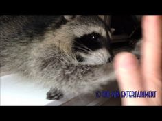 Baby Raccoon Learns To Give Me Five