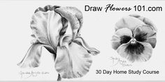 How to Draw Flowers: Iris with Sandra Angelo on Vimeo Watercolor Flowers, Watercolor Art, Drawing Flowers, Flower Images, Flower Art, Animal Drawings, Art Drawings, Iris Flowers, Sketch Painting