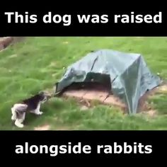 Dog Raised Alongside Rabbits - Funny And Healthy Funny Animal Memes, Funny Animal Videos, Cute Funny Animals, Funny Animal Pictures, Cute Baby Animals, Funny Cute, Funny Dogs, Animals And Pets, Funny Humor
