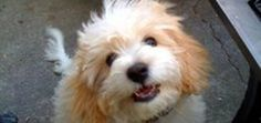 Cavachon: Get to Know a Hybrid Dog Breed | Dogster