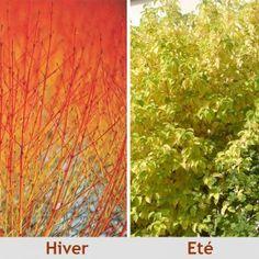 MUR DU FOND - Cornus sanguinea 'Midwinter Fire' - Cornouiller sanguin 'Winter Beauty' à bois orange Famille : Cornacées -  feuillage vert tendre (acide) <3<3<3 - 2m x 2m