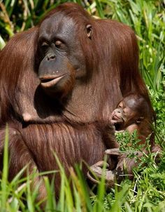 Paignton Zoo and Living Coasts are working to become palm-oil free sites. Curator of Mammals Neil Bemment is vice-coordinator of the Orangutan European Endangered species Program, which coordinates the efforts of top European zoos to conserve the species.