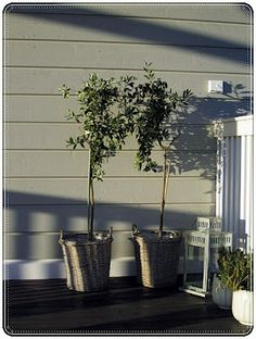 My olive trees:)