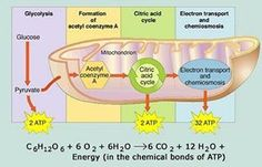 Chloroplast structure and function photosynthesis diagram and chloroplast structure and function ccuart Gallery