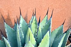 Agave-Grow my own= make my own tequila.