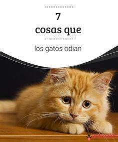 7 cosas que los gatos odian  Muchas de las actitudes desinteresadas de nuestros felinos se deben a que hacemos o los exponemos a cosas que los gatos odian, te enseñamos algunas de ellas. #odio #actitud #felinos #curiosidades