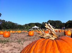 Pumpkin Picking in Staten Island, NY