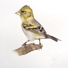 JILGUERO Chilean bird watercolor Lorena Fröhlich Mohr Watercolor Bird, Watercolor Paintings, Birds 2, Bird Illustration, Nature Animals, Bird Art, Bird Feathers, Cute Drawings, Paint Colors