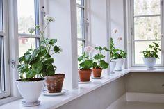 Blooming windowsill just like Carl and Karin Larsson's. I covet these wide windowsills!