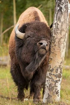 Bison scratching an itch