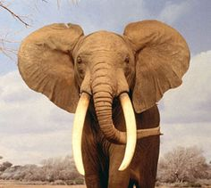 Elephant *-*