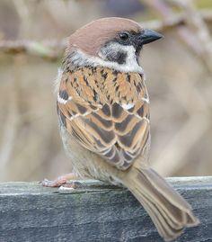 Eurasian Tree Sparrow - Passer montanus, is a passerine bird in the sparrow family.  Photo by Darren Clarke.