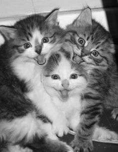 two cute kittens smiling Cute Kittens, Baby Animals, Funny Animals, Cute Animals, Pretty Cats, Beautiful Cats, I Love Cats, Crazy Cats, Gatos Cats