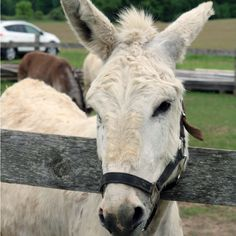 Sponsoring a donkey, mule, or hinny here at the Donkey Sanctuary of Canada will help to provide support for animals here at the Sanctuary. Funny Donkey Pictures, A Donkey, Cattle Farming, Farms Living, Horses, Animals, Animaux, Beef Farming, Animales