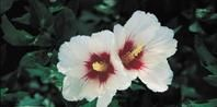 How to propagate a Rose-of-Sharon Hibiscus