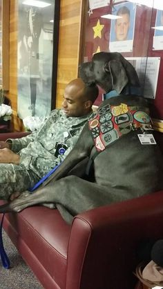 This Great Dane Therapy Dog Is Certified To Help America's Most Deserving… Military Working Dogs, Military Dogs, Police Dogs, Military Soldier, Great Dane Dogs, I Love Dogs, Best Dogs, Great Dane Facts, Pit Bull
